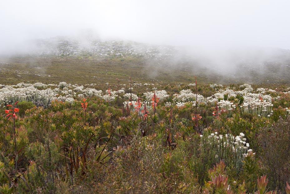 Silvermine Fynbos