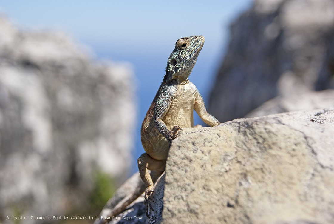 Lizard on Chapman's Peak by Linda Rose
