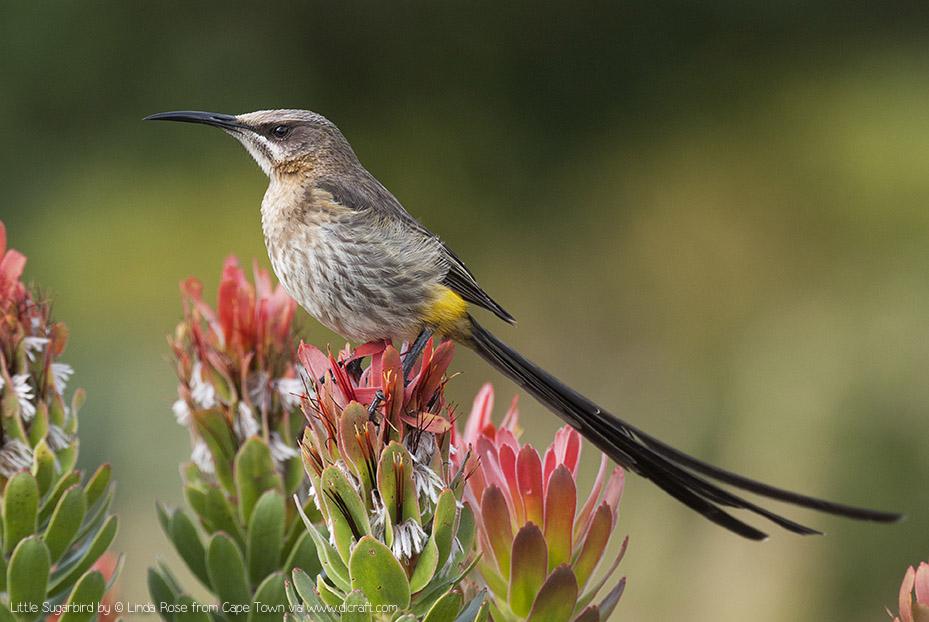 SUGARBIRD by Linda Rose